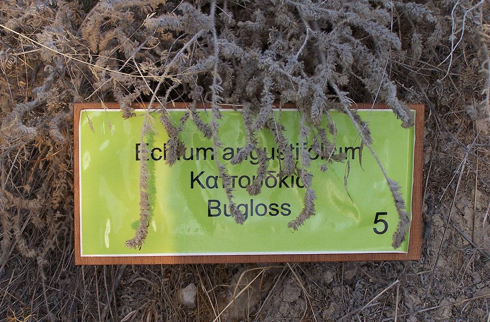 Echtum augustifolium